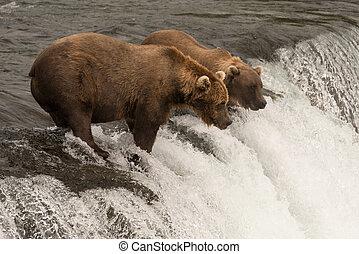zwei, braunbären, lachs, fischerei, auf, wasserfall