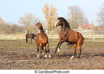 zwei, brauner, pferden, kämpfen