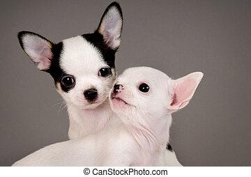zwei, chihuahua, puppies.