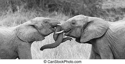 zwei, elefant, grüßen, liebevoll, mit, eisschießen, und, berühren, badehose, künstlerisch, bekehrung