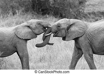zwei, elefant, grüßen, mit, eisschießen, und, berühren, badehose, künstlerisch, bekehrung
