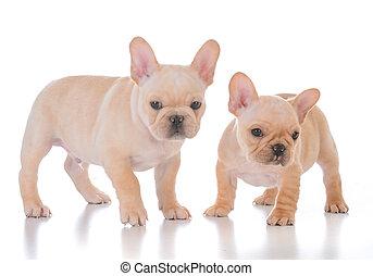 zwei, französische bulldogge, hundebabys