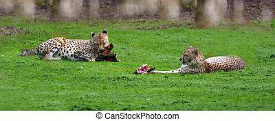 zwei, gepard, essen, fleisch