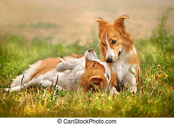 zwei, glücklich, hund, liegende , gras