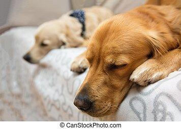 zwei, hund, liegen, bett