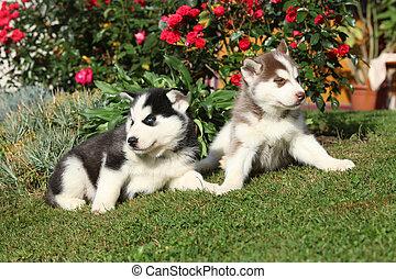 zwei, hundebabys, von, sibirischer schlittenhund, liegen, vor, blumen