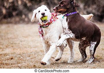 zwei, hunden, spielende