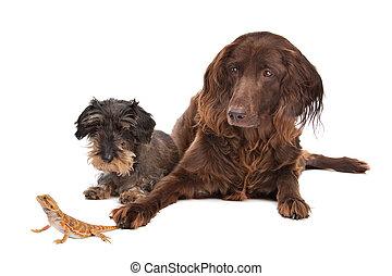 zwei, hunden, und, a, eidechse, vor, a, weißer hintergrund