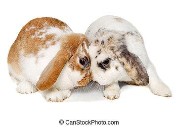 zwei, kaninchen, freigestellt, auf, a, weißer hintergrund