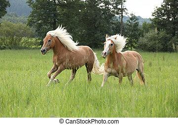 zwei, kastanie, pferden, mit, blond, mähne, rennender , in,...