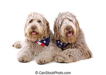 zwei, labradoodle, hunden