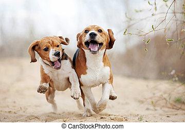 zwei, lustiges, beagle, hunden, rennender