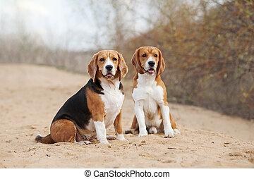 zwei, lustiges, beagle, hunden