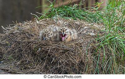 zwei, möwe, küken, in, der, nest
