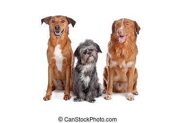 zwei, mischling, hunden, und, a, neuschottland, ente,...