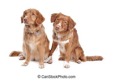 zwei, neuschottland, ente, tolling, apportierhund, hunden
