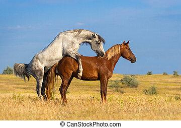 zwei, pferd, kopplung