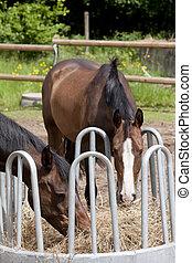 zwei, pferden, essende, heu