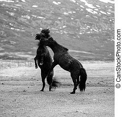 zwei, pferden, kämpfen