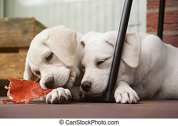zwei, reizend, junger, labrador, hund, hundebabys, streicheln, zusammen