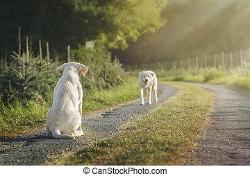 zwei, reizend, labrador, hund, hundebabys, auf, feld, während, fruehjahr