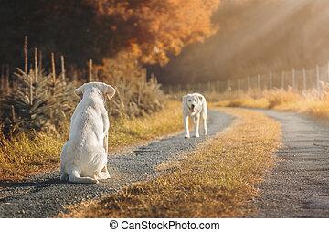 zwei, reizend, labrador, hund, hundebabys, auf, feld, während, herbst