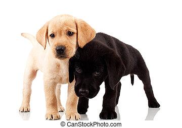 zwei, reizend, labrador, hundebabys