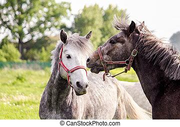zwei, reizend, ponys, spielerisch, kämpfen, einander