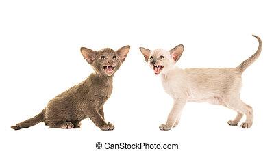 zwei, reizend, singende, sprechen, siamesisch, babykatzen, freigestellt, auf, a, weißer hintergrund