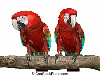 zwei, rotes , parrot., isolated.