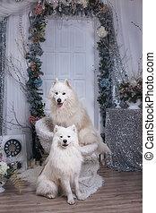 zwei, samoyed, laika, in, a, weihnachten, studio