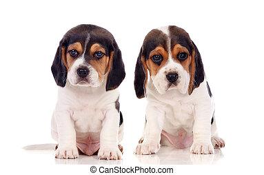 zwei, schöne , beagle, hundebabys
