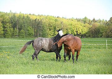 zwei, schöne , pferden, kämpfen