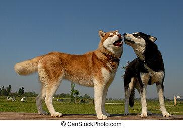 zwei, schlittenhunde