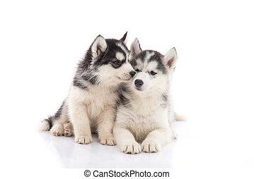 zwei, sibirischer schlittenhund, hundebabys, küssende , weiß, hintergrund