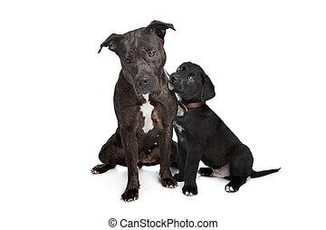 zwei, verrührte rasse, hunden