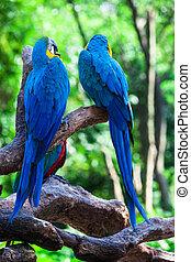 zwei, von, schöne , papageien