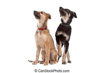 zwei, whippet, junger hund, hunden