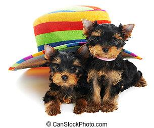 zwei, yorkshireterrier, 3, monat, hundebabys, hund