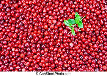 zweig, lingonberry, beschaffenheit