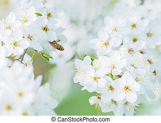 zweig, von, kirschbaum, blüte, in, der, fruehjahr