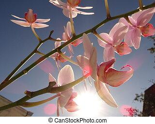 zweig, von, rosafarbene orchidee, blume, gegen, der, hintergrund, von, der, blauer himmel, und, der, helle sonne