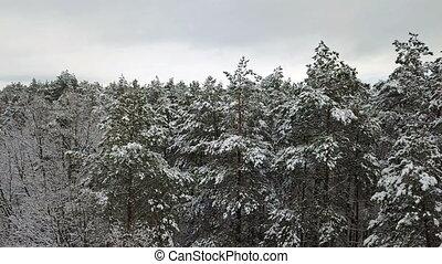 zweige, luftaufnahmen, schneebedeckt, kiefer, ansicht