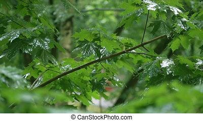 Zweige, Regen, grün, unter, fallender, ahorn