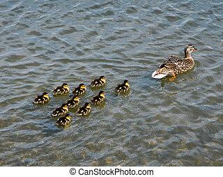 zwemmen, eend, eendjes, moeder