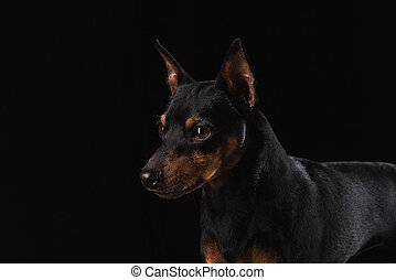 Close up portrait of a young dog. - Zwergpinscher on black...