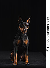 Zwergpinscher on black background. Dog sits and looks aside