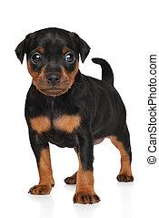 Zwergpinscher puppy in stand. Portrait on a white background
