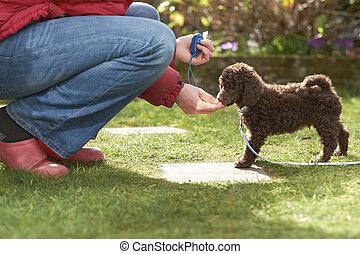 zwergpudel, junger hund