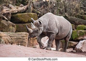 zwierzę, życie, w, africa:, czarnoskóry rhinoceros